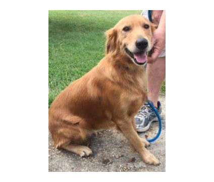 AKC Golden Retriever puppies is a Female Golden Retriever For Sale in Richmond VA