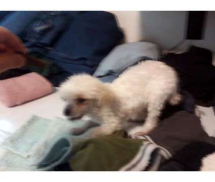 poodle is a Female Poodle Puppy For Sale in Vevay IN