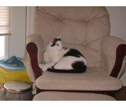 Lokey, a Black and White Male Cat is a Black, White Male Young in Santee SC