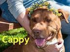 Cappy American Pit Bull Terrier Senior Male
