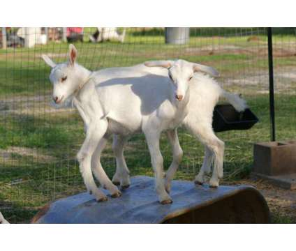Saanen dairy goat kids is a Baby in Alexandria LA