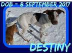 DESTINY-1 Pointer Young Male