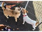 Penny Wirehaired Fox Terrier Adult Female