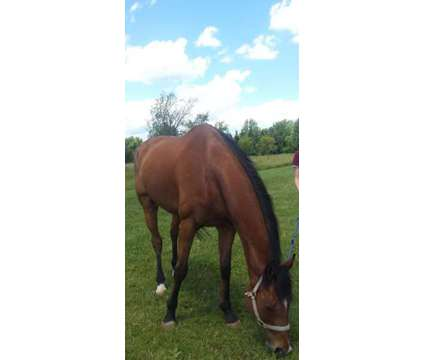 Thoroughbred horse is a Male Thoroughbred in Rochester NY