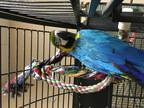Sweetheart Macaw Adult - Adoption, Rescue