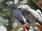 Jarla African Grey Senior - Adoption, Rescue