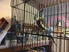 Nixie Cockatiel Adult - Adoption, Rescue