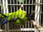 Kiko Conure Young - Adoption, Rescue