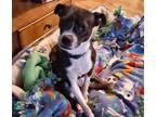 Scarlett Johansson Boston Terrier Adult - Adoption, Rescue