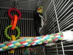 Teddy and Tweety Cockatiel Adult - Adoption, Rescue