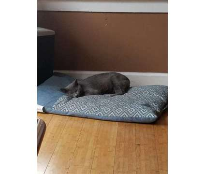 Free 1 yr old cat to good home is a Male Young Free in Calumet Park IL