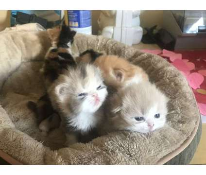 Kittens is a Male Himalayan, Persian Young For Sale in Germantown MD