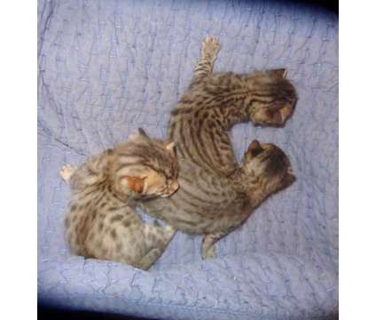 kittens Bengals is a Male Bengal Kitten For Sale in Clewiston FL