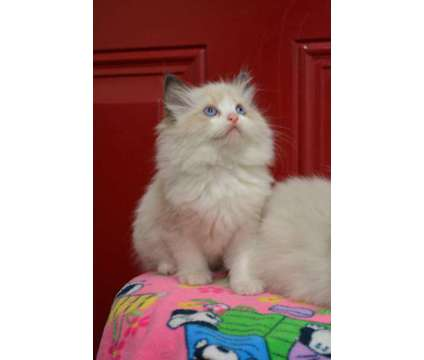 TICA registered purebred Ragdoll kittens is a Female, Male Ragdoll Kitten For Sale in Fleetwood PA
