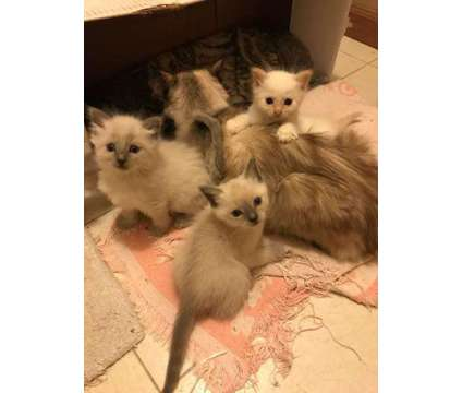 Ragdoll Mix kittens is a Male Ragdoll Young For Sale in Tioga TX