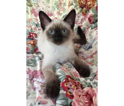Seal Point Siamese Kitten - All gone, more in November is a Male Siamese Kitten For Sale in Springfield OR