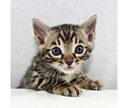 Bengal Kittens is a Brown, Grey Male Bengal Kitten For Sale in Hurricane WV
