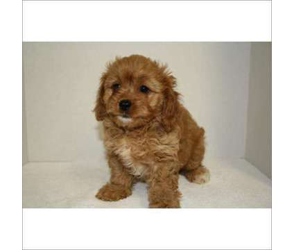 Cavapoo puppy for sale on Long Island New York.....call us at [phone removed] is a Female Cavapoo Puppy in Huntington NY