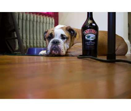Old English Bulldog is a Male Bulldog For Sale in New York NY