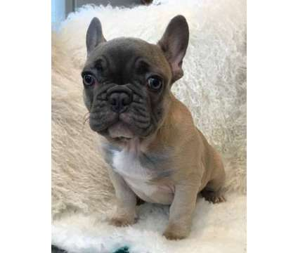 Blue Mask Champagne French Bulldog Puppy For Sale is a Blue French Bulldog For Sale in New York NY