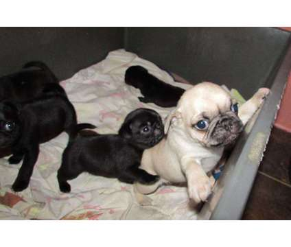 Only 7 Available Stunning Black and Fawn Pugs Puppies For Sale is a Black Pug For Sale in New York NY