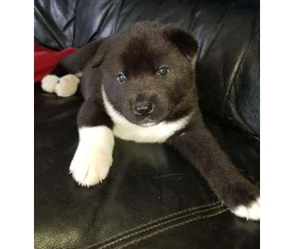 AVAILABLE 2 Japanese Akita Puppies For Sale is a Akita For Sale in New York NY