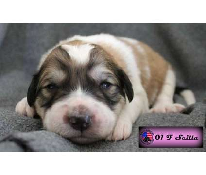 Great Pyrenees Puppies is a Female Great Pyrenees Puppy For Sale in Brownington VT