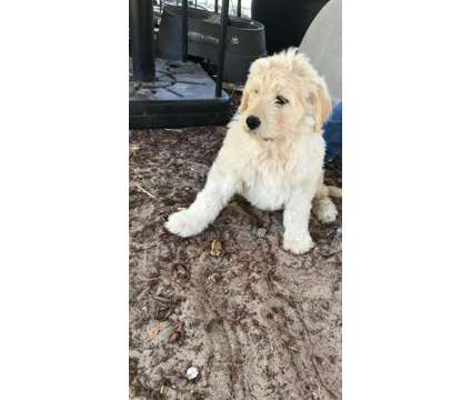 Goldendoodle Puppies is a Female, Male Goldendoodle Puppy For Sale in Shady Hills FL