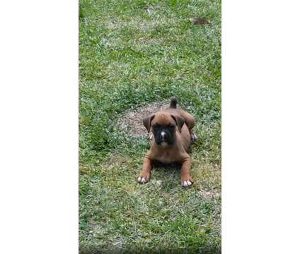 CKC Boxer puppies is a Female Boxer Puppy For Sale in Bath SC