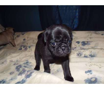 pug puppies..taking deposits is a Male Pug Puppy For Sale in Lafayette LA