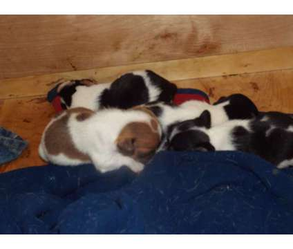 rat terrier-registerable is a Male Rat Terrier Puppy For Sale in Lafayette LA