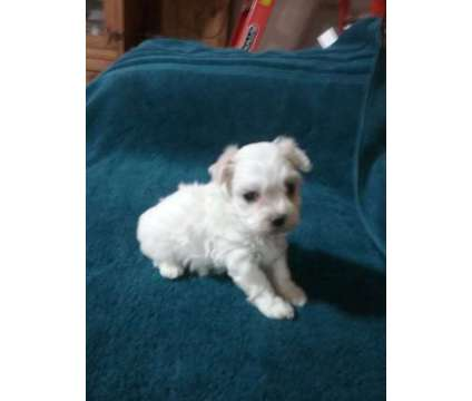 Gorgeous little maltiepoo is a Female Puppy For Sale in Oklahoma City OK