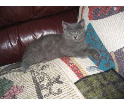 British Shorthair kittens is a Blue Male British Shorthair Kitten For Sale in Dallas TX