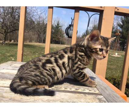 TICA Registered Bengal Kittens is a Male Bengal Kitten For Sale in Fort Wayne IN