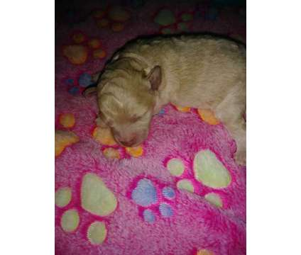 Toy Poodle is a Female Toy Poodle Puppy For Sale in Orlando FL