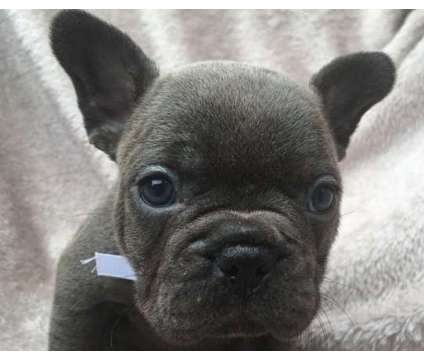 F1 French Bulldog Puppies WWW.MICROBLUEFRENCH. COM is a French Bulldog Puppy For Sale in Indianapolis IN