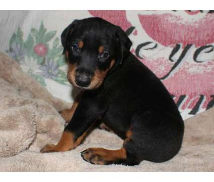 AKC Doberman Puppies is a Female Doberman Pinscher Puppy For Sale in Day FL