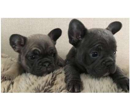 F3 French Bulldog Puppies WWW.MICROBLUEFRENCH. COM is a French Bulldog Puppy For Sale in South Bend IN