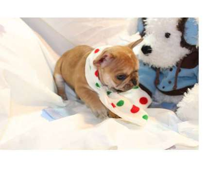 F2 French Bulldog Puppies is a French Bulldog For Sale in Boston MA