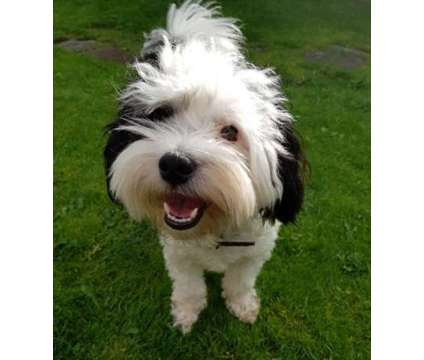 Stunning Pure Bred Havanese Puppies AKc Registered for sale is a Havanese For Sale in San Francisco CA