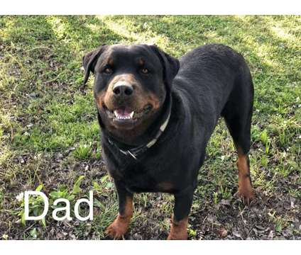 AKC Rott Puppies is a Rottweiler Puppy For Sale in Tulsa OK