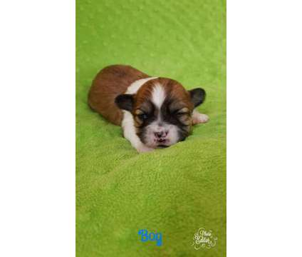 Teacup Teddybear Puppy is a Male Puppy in West Bend WI