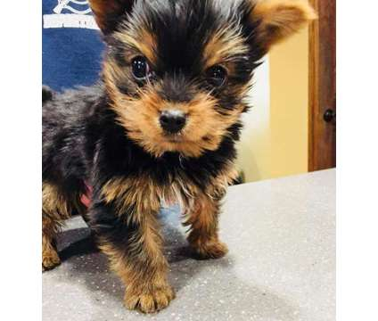 Yorkie male pup is a Male Yorkshire Terrier Puppy For Sale in Forest City IA