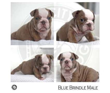 AKC English Bulldog Puppy is a Blue Male Bulldog Puppy For Sale in Los Angeles CA