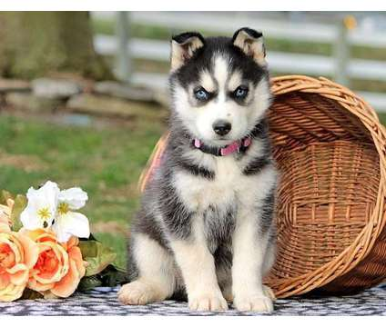 AKC Trained F4 M/F Siberian Husky Puppies is a Siberian Husky Puppy For Sale in Richmond VA