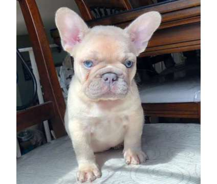 French Bulldog Fawn Boy -inc shots & dworming is a Male French Bulldog For Sale in Fremont CA