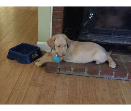 1 yellow lab puppy AKC is a Yellow Male Labrador Retriever Puppy For Sale in Manchester NH
