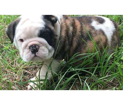 Awesome F4 Healthy Male and Female English Bulldog Puppies Ready is a Female Bulldog Puppy For Sale in Miami FL
