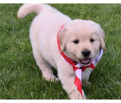 Sweet F3 Healthy Male and Female Golden Retriever Puppies Ready is a Female, Male Golden Retriever Puppy For Sale in Miami FL