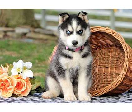 Good F2 Healthy Male and Female Siberian Husky Puppies Ready is a Female, Male Siberian Husky Puppy For Sale in Miami FL
